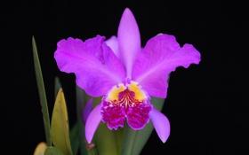 Обои цветок, орхидея, фон, лепестки
