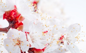 Обои цветы, нежность, лепестки