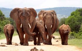 Картинка elephants, herd, family