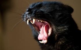 Картинка кот, морда, кошак, клыки, котяра