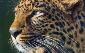 Обои взгляд, морда, хищник, леопард, leopard
