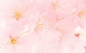 Обои природа, весна, цветение, spring, розовый