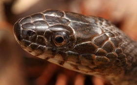 Обои макро, змея, Northern Water Snake