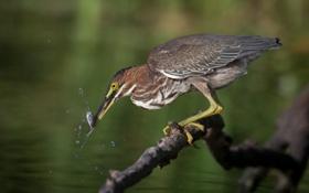 Картинка вода, птица, рыбка, ветка, клюв