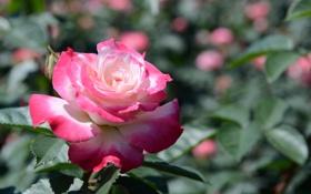 Картинка листья, белая, малиновая, куст, цветение, роза, бутон