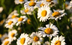 Картинка цветы, ромашки, солнечно, полевые