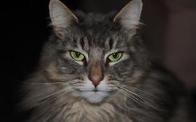 Обои кошка, кот, портрет, мордочка