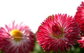Обои Ромашка, необычная, розовый, 3 шт
