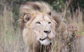 Обои лев, трава, хищник, взгляд, грива, кошка