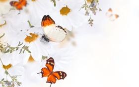 Обои бабочки, цветы, бутоны, листики, веточки, белые хризантемы