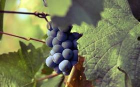 Обои фотографии, виноград, обои для рабочего стола, макро