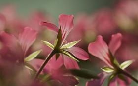Картинка цветы, фон, размытость, освещение, розовые