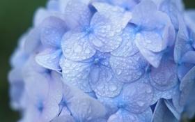 Обои капли, макро, роса, синяя, гортензия, соцветие