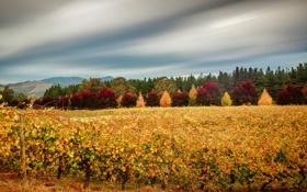 Картинка осень, небо, листья, облака, деревья, виноградник, багрянец