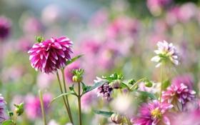 Обои георгин, яркий, цветение, бутон, цветы