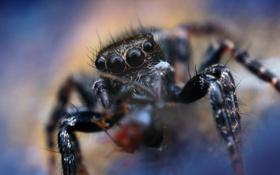 Обои паук, насекомое, боке