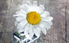 Картинка цветок, стекло, бутылка, лепестки, ромашка