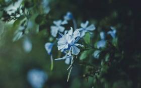 Обои цветы, лепестки, голубые