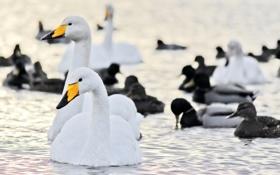 Картинка вода, птицы, утки, лебеди