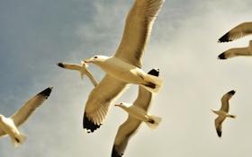 Обои птицы, чайка, небо, облака, полет