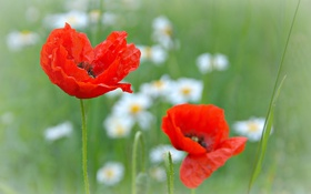 Обои природа, цветы, маки