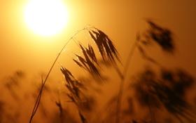Картинка солнце, жёлтый, колосья