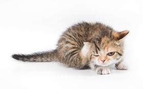 Картинка котенок, белый фон, чухается, блохи