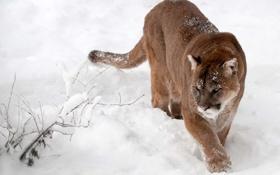 Обои зима, снег, пума, горный лев, кугуар