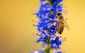 Обои растение, цветок, пчела, насекомое, макро
