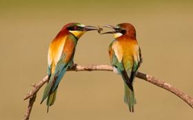 Картинка Золотистая щурка, ветка, птицы