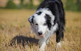 Обои поле, лето, собака
