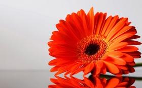 Обои цветок, один, краснинький
