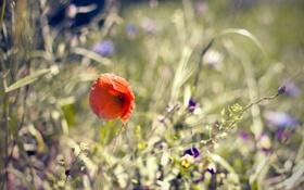 Обои цветы, природа, мак, растения