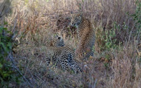 Обои хищники, семья, пара, дикие кошки, детеныш, леопарды, мать