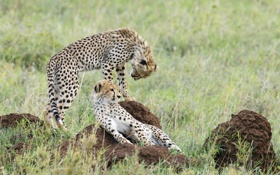 Картинка камни, гепард, котята, саванна, пара