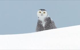 Обои зима, животные, сова, wallpapers, птицы