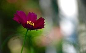 Обои цветок, космея, лето, зелень, яркий, фокус