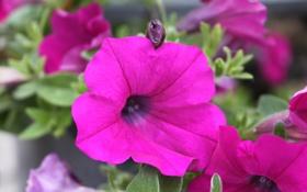 Обои природа, розовое, макро, цветы