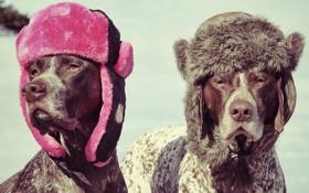 Картинка собаки, шапки, ушанки