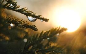 Картинка капли, иголки, солнце, растение, вода, размытость, блики