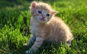 Картинка газон, рыжий, пушистый, трава, котенок
