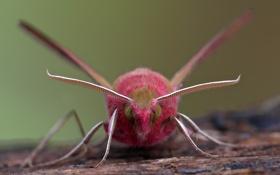 Обои Elephant Hawk-moth, groot avondrood, Deilephila elpenor