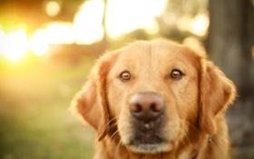 Обои взгляд, собака, ретривер