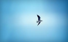 Обои небо, птица, чайка