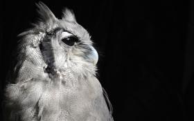 Обои птица, Сова, профиль, черный фон