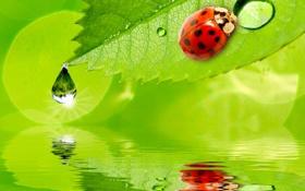 Обои капли, water, вода, ladybug, drops, reflection, божья коровка
