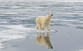 Обои лёд, север, белый медведь, вода, отражение