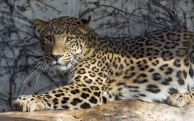 Картинка кошка, солнце, тень, леопард, персидский, ©Tambako The Jaguar