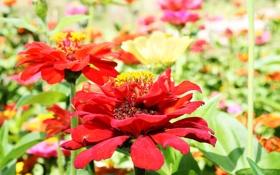 Обои поле, цветы, природа, лепестки, луг