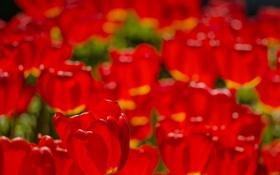 Обои природа, фон, тюльпан